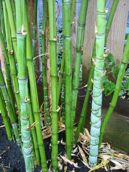 Phyllostachys Aurea Golden Bamboo Pictures 1 2 3