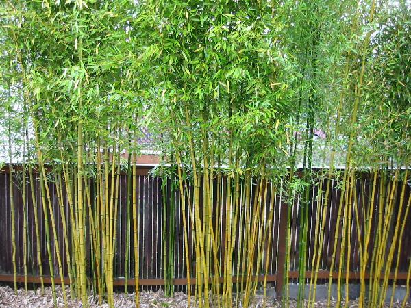 Mid Range Bamboos